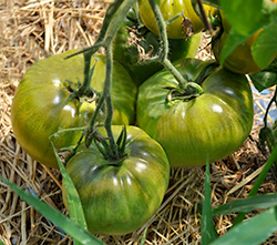 Aunt Ruby's German Green tomatoes, one of many heritage varieties that help preserve plant diversity. The Seeds of Sustainability.