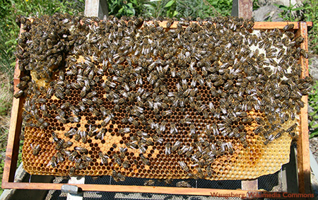 Bees on a honeycomb - Neonicotinoid Pesticides in Honey