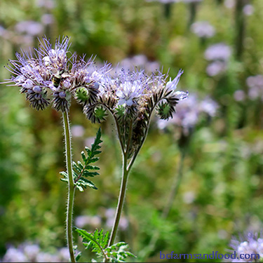 Phacelia - deer resistant pollinator plants