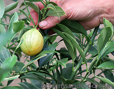 A ripening kumquat on the tree. A Low-Carbon Citrus Greenhouse in Canada.
