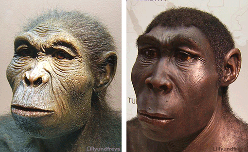 Homo habilis and Homo erectus. Did cooking make us human?