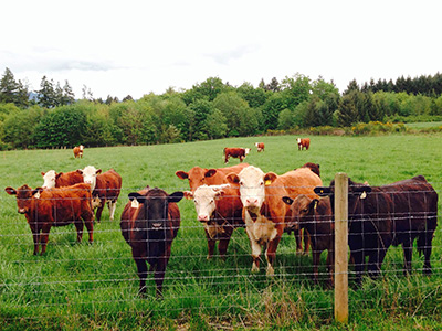 Henry's-Farm-cattle