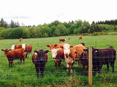 Henry's-Farm-cattle