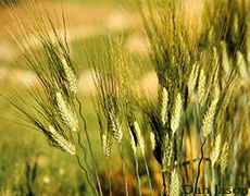 Khorasan wheat, also known as Kamut. Bringing Back Ancient Grains and Seeds.