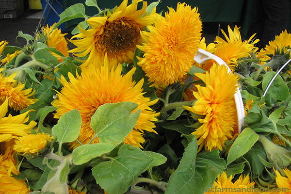 Ladysmith, Nanaimo & Gabriola Farms A-Z Directory. sunflowers