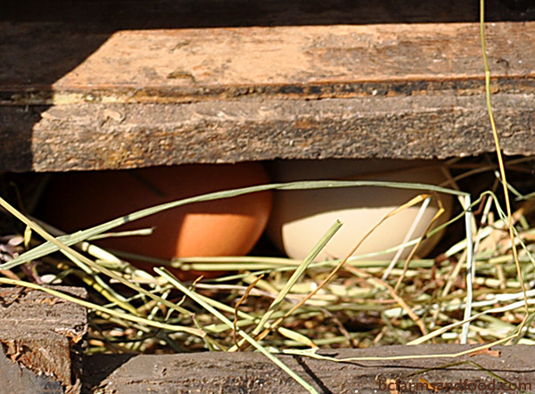 Ladysmith, Nanaimo & Gabriola Farms A-Z Directory. Eggs in a bin
