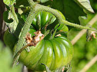 Purple Calabash Tomatoes