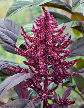 The large red seed head of an amaranth plant. Bringing Back Ancient Grains and Seeds.