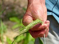 Bringing Back Ancient Grains & Seeds