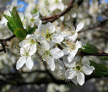 apple blossoms in a bee garden