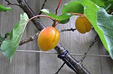 apricots230bcfarmsandfood