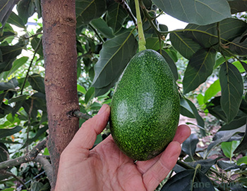 A ripe avocado on the tree at The Garden on Salt Spring Island. A Low-Carbon Citrus Greenhouse in Canada.