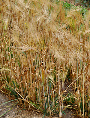 barley growing in a field
