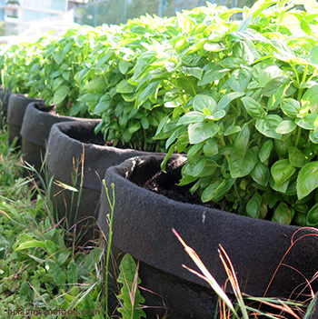 Basil thrives in grow bags at Topsoil Urban Farm in Victoria, BC. A movable urban farm.