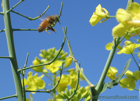 A honey bee flies to kale flowers. Where have all the bees gone?
