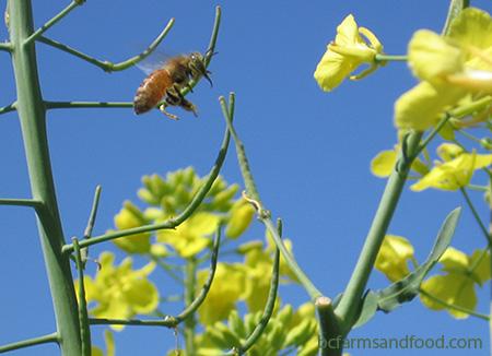 A honey bee flies to kale flowers