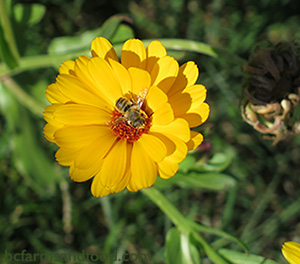 A bee on a yellow calendula flower. Protecting Mother Nature at the Ballot Box.