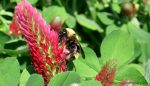 A bee on clover flower. Canada's bees will have their day in court to decide if failure to enforce regulations on neonicotinoids harms bees.