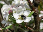 A mason bee on a pear blossom