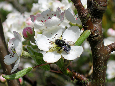 A mason bee on a pear blossom in a bee garden