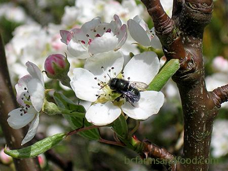 A mason bee on a pear blossom
