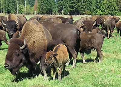 A bison herd, including a young calf, grazes on grass at Island Bison Ranch.