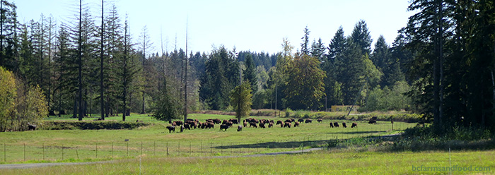 Bison grazing on pasture amid stands of trees.