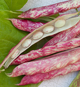 White borlotti beans in their pink shells.