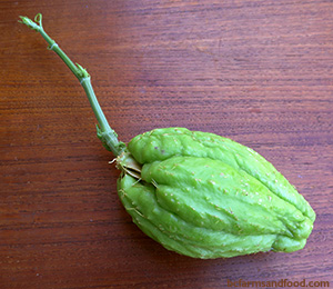 A chayote sqaush sends out a shoot from its seed inside the fruit. Chayote Squash: A New Staple Crop for Northern Gardens?