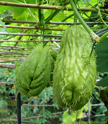 Two spiny green pear-shaped chayote squash hang from the vine. Chayote Squash: A New Staple Crop for Northern Gardens?