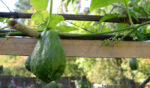 A green pear-shaped spiny chayote squash hangs on the vine. Chayote Squash: A New Staple Crop for Northern Gardens?