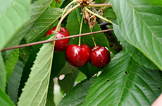 cherries230bcfarmsandfood