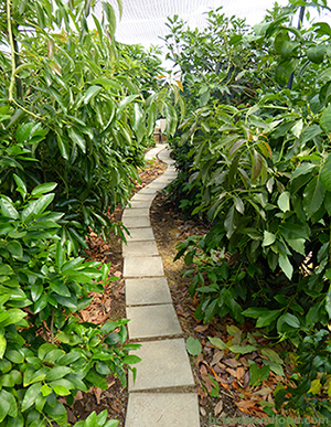 A stone pathway leads through subtropical fruit trees at The Garden, a citrus greenhouse on Salt Spring Island, BC. A Low-Carbon Citrus Greenhouse in Canada.