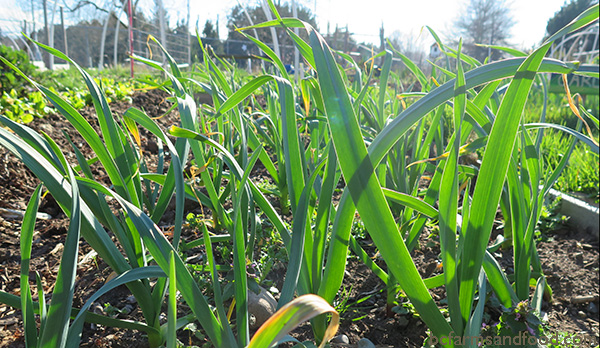 Garlic plants grow in a climate change garden.