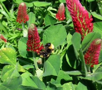 bumblebee on clover