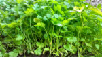 Coriander plants (also known as cilantro). Research shows coriander oil is a natural antibiotic.