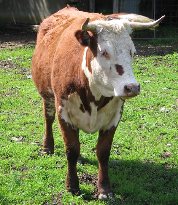 Cowichan Valley & Cobble Hill Farms A-Z Directory. bull