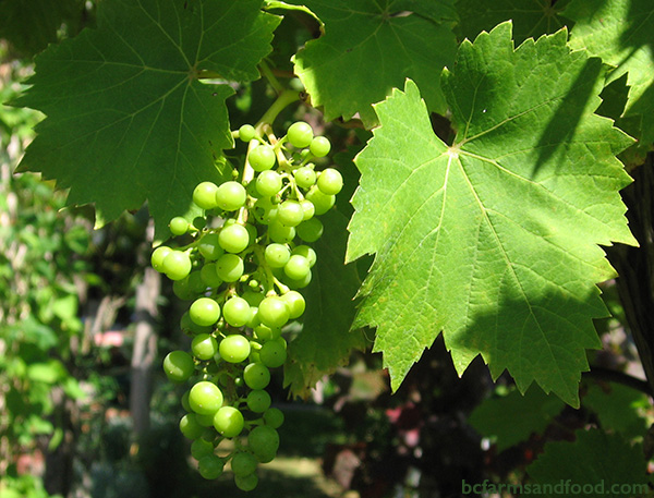 Cowichan Valley & Cobble Hill Farms A-Z Directory. Grapes