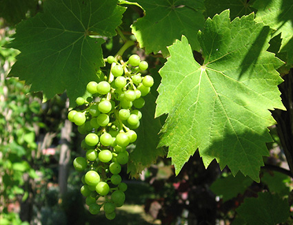 Green grapes on the vine.