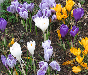 crocuses for a bee garden