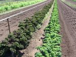 Agricultural land reserve rop rows of kale