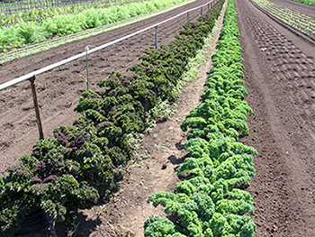 Agricultural land reserve crop rows of kale