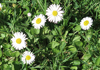 Daisy (Bellis perennis) is a weed that can indicate soil conditions.