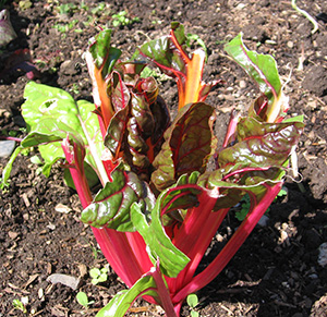 A chard plant damaged by deer