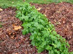 leaf mulch warms the garden soil