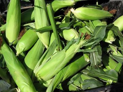 farm corn1