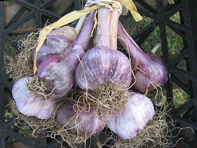 farm-garlic2
