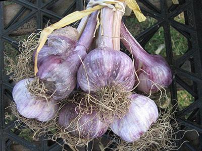 farm-garlic2
