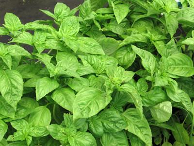farm herbs basil