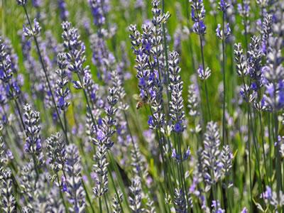 farm lavender2